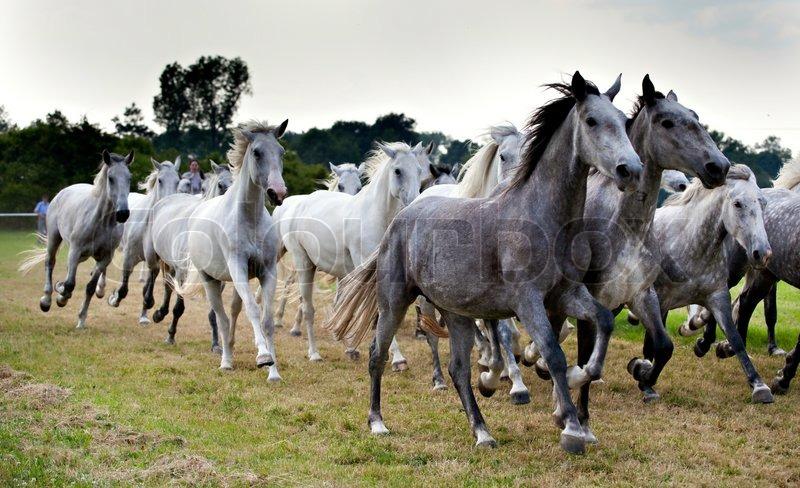 Herd Of White Horses Running Stock Photo Colourbox