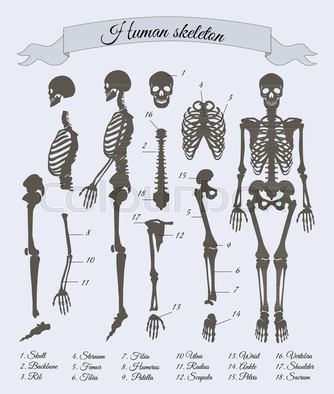 Human skeleton and parts with numbers and explanation names ...