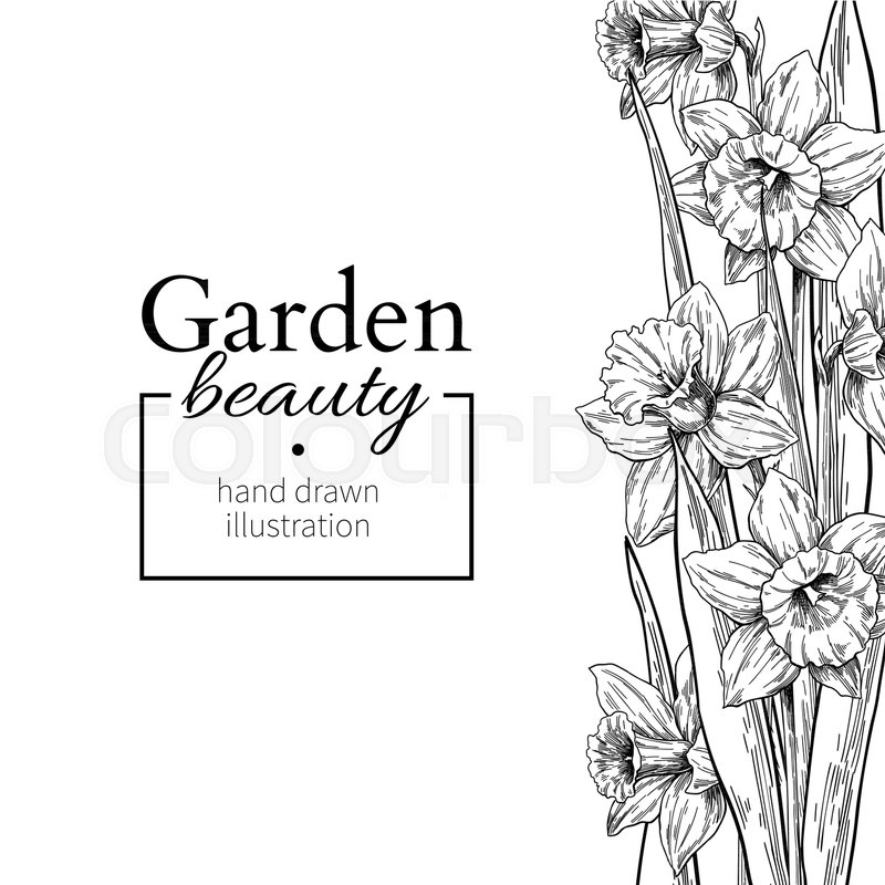 Daffodil Flower And Leaves Border Drawing Vector Hand