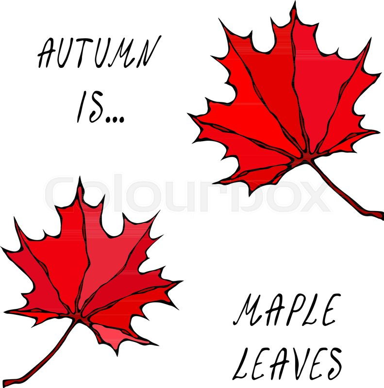 Maple Leaves Canadian Day Symbol Autumn Or Fall Harvest Collection