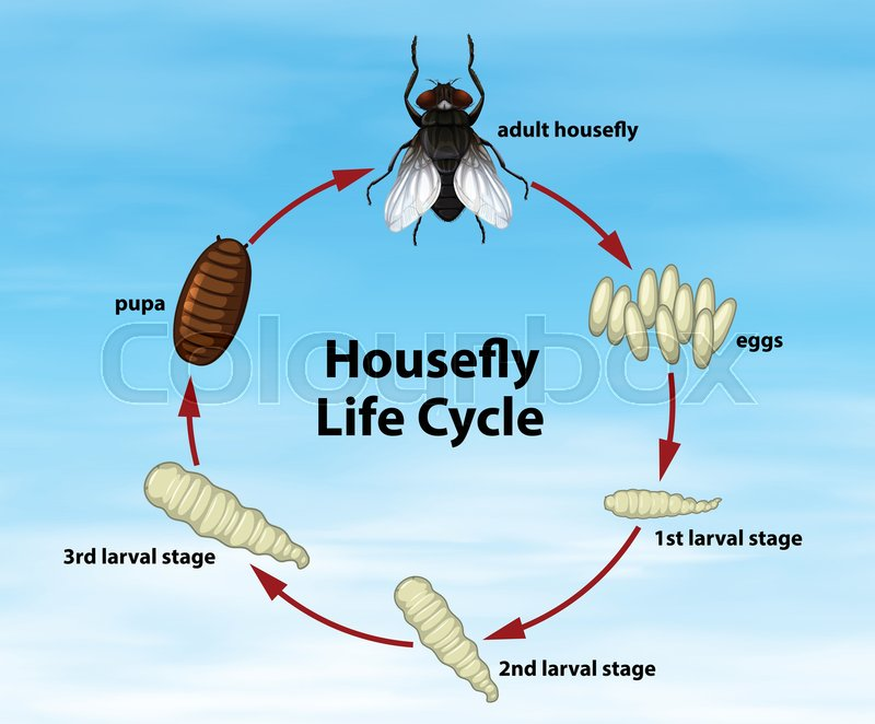 Science Housefly Life Cycle illustration | Stock Vector | Colourbox