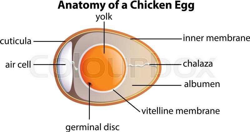 Anatomy Of A Chicken Egg Illustration Stock Vector Colourbox