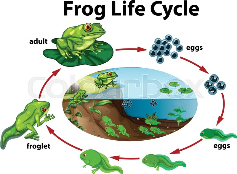 Image Result For Life Cycle Of A Frog Biology