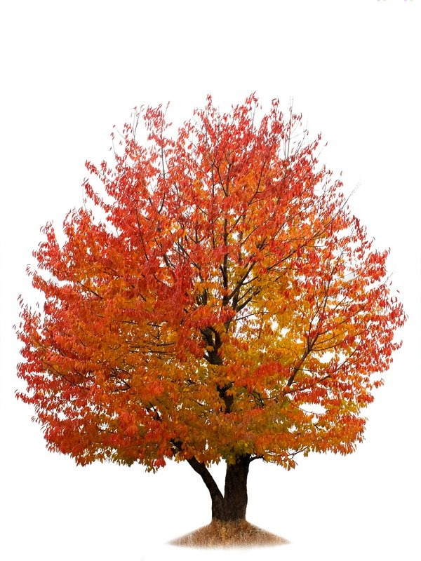 Cherry tree with red and yellow autumn leaves isolated stock photo