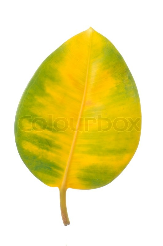 Yellow And Green Ficus Elastica Rubber Plant Leaf Isolated