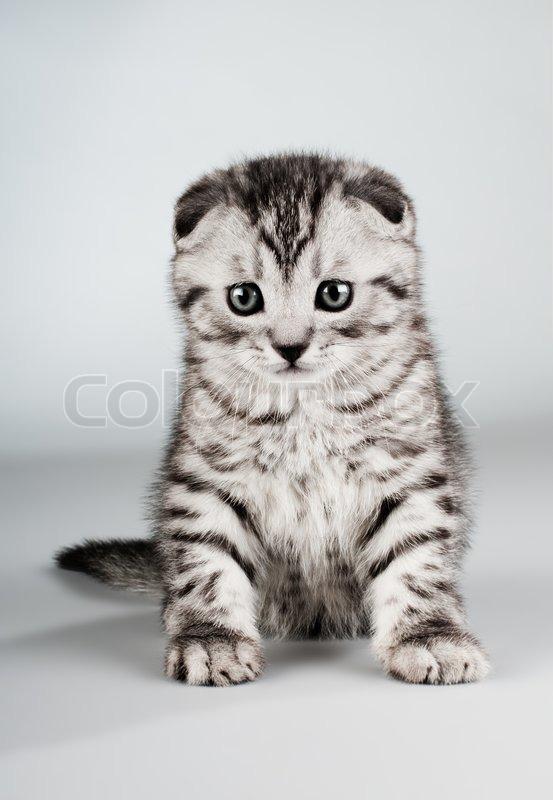 fluffy gray beautiful kitten breed scottish fold stock photo colourbox. Black Bedroom Furniture Sets. Home Design Ideas