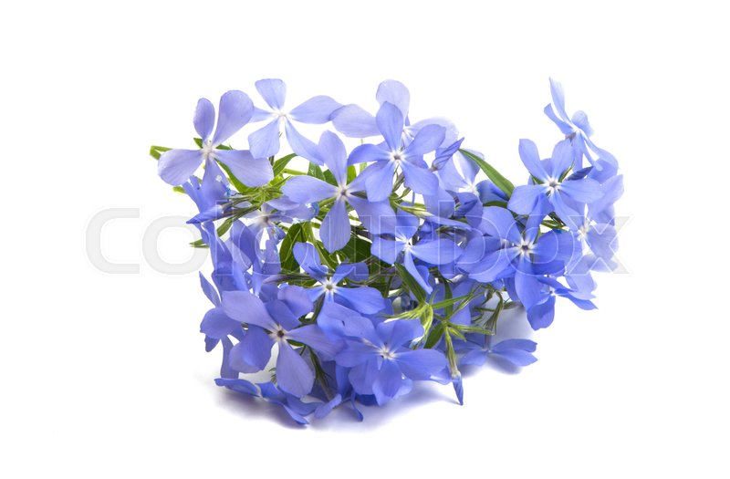 blue vinca flowers isolated on white background stock photo