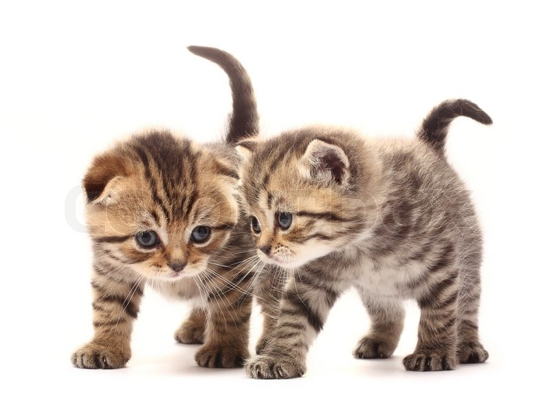 Two small scottish kittens on white background | Stock Photo ...