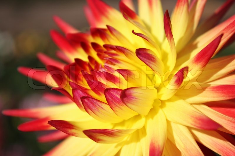 Close up of yellow red chrysanthemum flower stock photo colourbox close up of yellow red chrysanthemum flower stock photo mightylinksfo