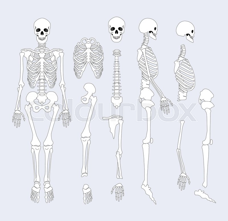 Human Skeletal System Parts With Sternum Ribs And Skull Supporting