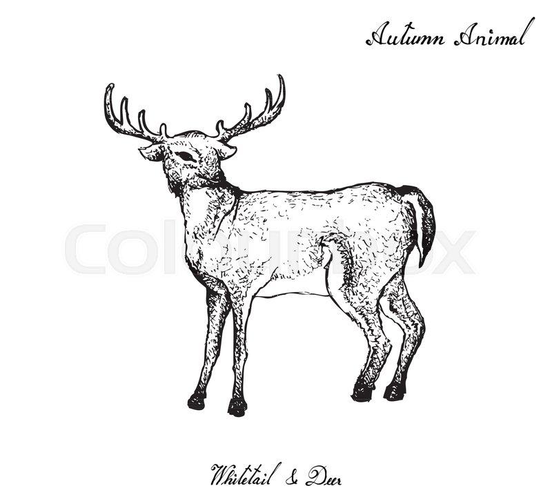 Autumn Animal Illustration Hand Drawn Of Whitetail Or Virginia Deer