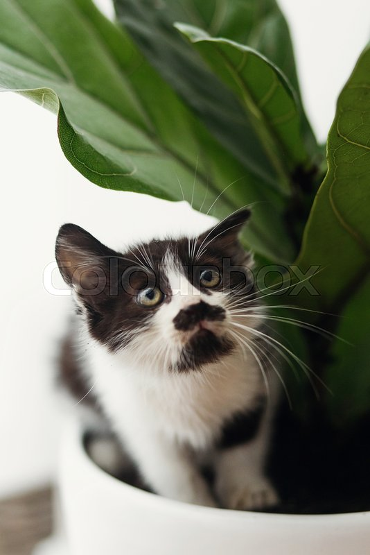 Scared cute little kitten sitting under fiddle leaf fig tree in stylish room. adorable black and white kitty with funny emotions playing in pot, fun moments, home ..., stock photo