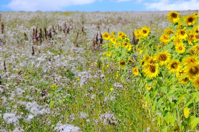 A beautiful field of flowers sunflower, blue sky with clouds and the road in the background, stock photo