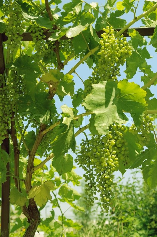 Bunch of green grapes on the vine, stock photo