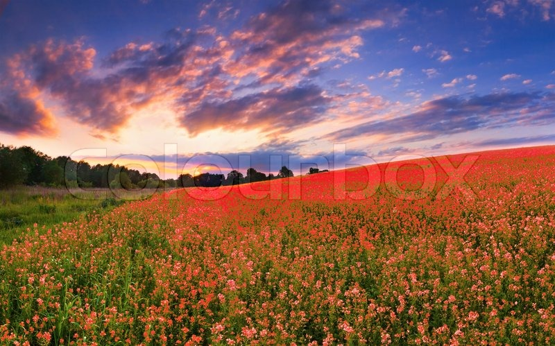 Stock image of 'Colorful panorama with a field of red flowers'