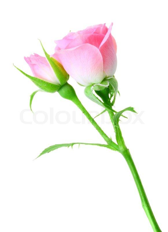rosa rose und knospe auf einem gr nen stiel auf wei em hintergrund stockfoto colourbox. Black Bedroom Furniture Sets. Home Design Ideas
