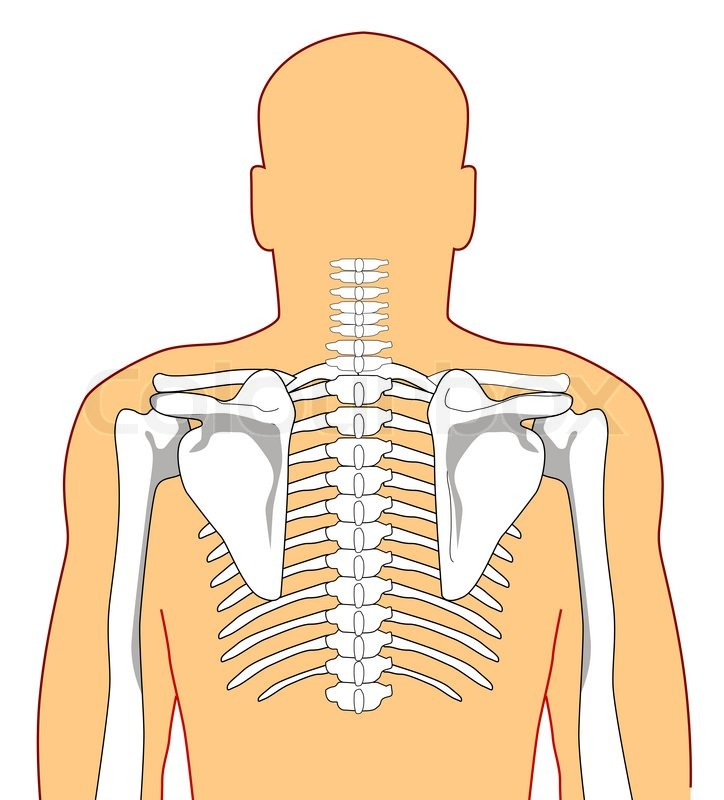 human anatomy showing the skeleton from the back | stock photo, Skeleton