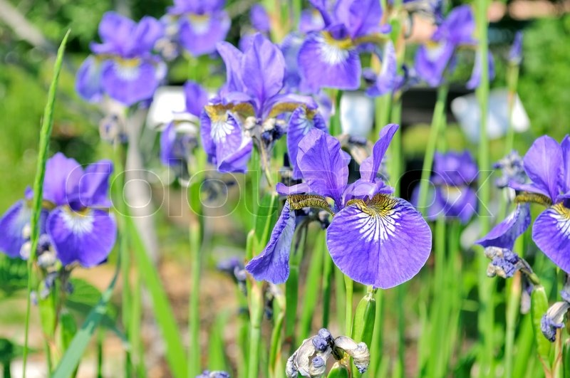 Purple Iris Flowers On Flower Bed Stock Image Colourbox