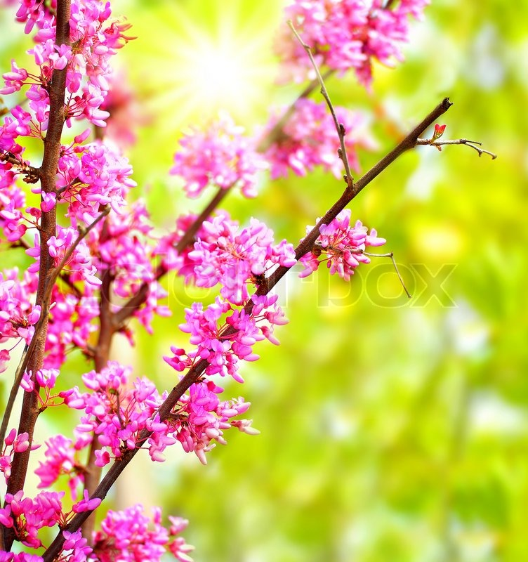 Fresh Pink Blooming Flowers On The Tree Spring Life In Nature