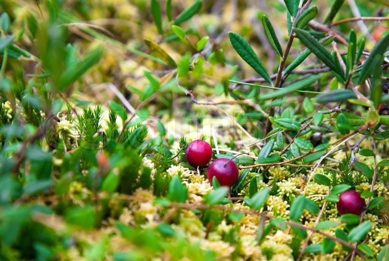 wild cranberries growing in bog autumn harvesting stock. Black Bedroom Furniture Sets. Home Design Ideas