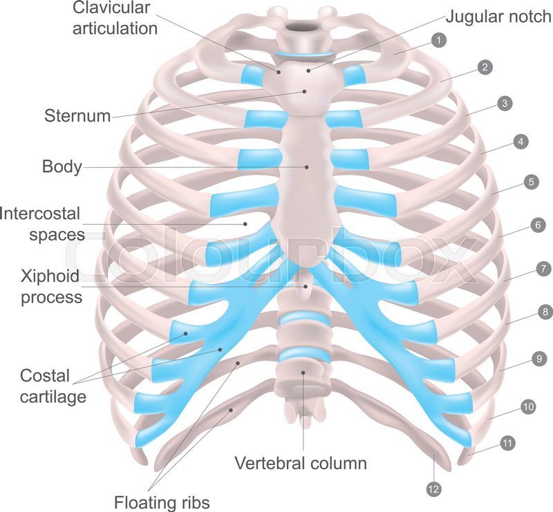 Thoracic cage is made up of bones and cartilage along, It consists ...
