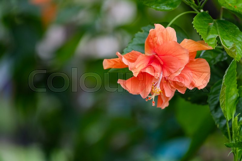 Hibiscus Flower Orange Double Stock Image Colourbox