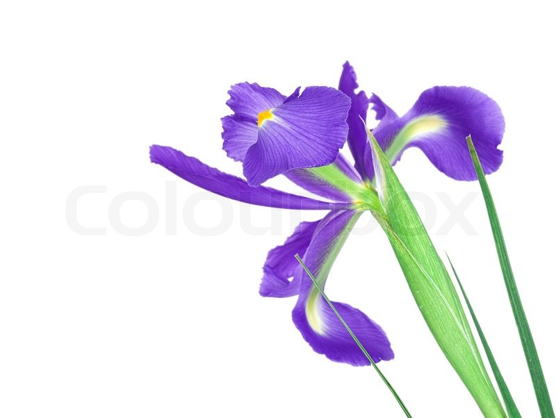 buy stock photos of iris  colourbox, Natural flower