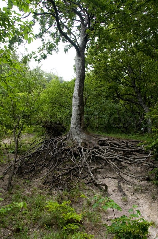 Amazing Chaos Tree Roots In Denmark Stock Photo Colourbox