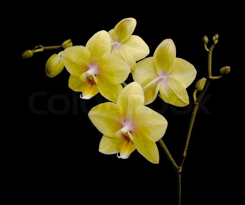Orchids Photograph Yellow Phalaenopsis By Kathy Yates
