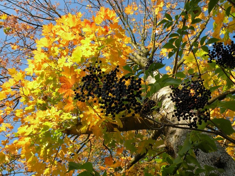 Elder Berries Against Yellow Leaves On Birch Tree And Blue