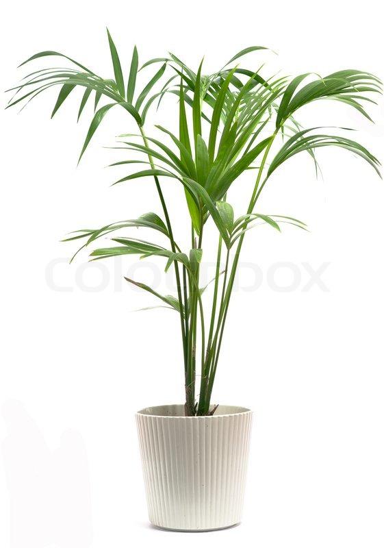 Kentia Palm Tree Stock Photo Colourbox