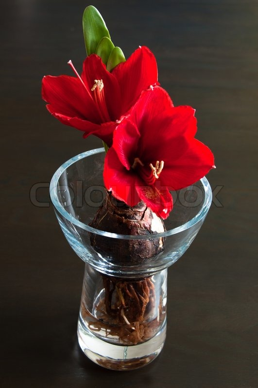 Close up of a red amaryllis withbulb and roots in glass for Vase amaryllis