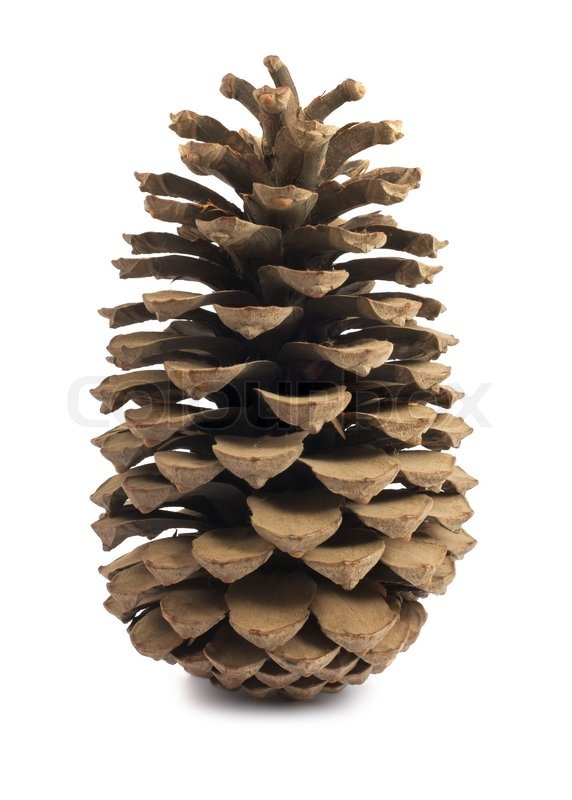 Single Brown Pine Cone Isolated On White Background