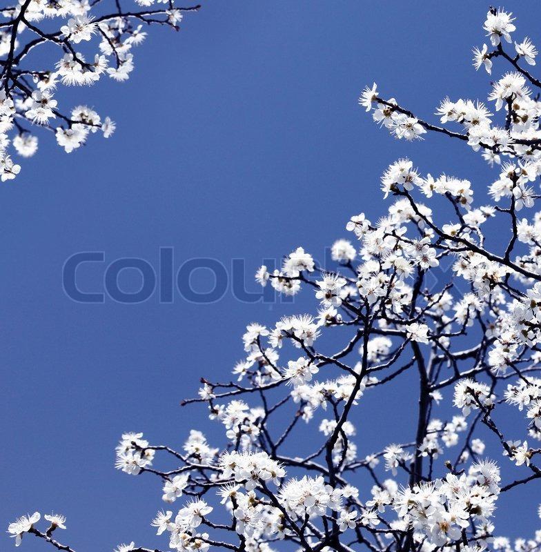 bl hende fr hling baum zweige mit wei en bl ten ber blauen himmel abstrakte grenze natur. Black Bedroom Furniture Sets. Home Design Ideas