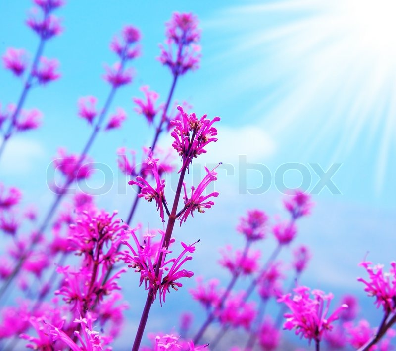 Pink spring flower field abstract background with blue sky and pink spring flower field abstract background with blue sky and sunlight stock photo mightylinksfo Choice Image