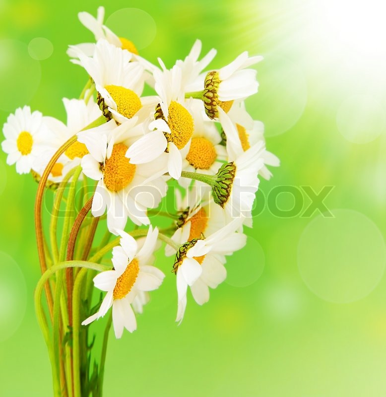 Fresh daisy flowers bouquet isolated over green bokeh background at fresh daisy flowers bouquet isolated over green bokeh background at sunny spring day stock photo colourbox mightylinksfo