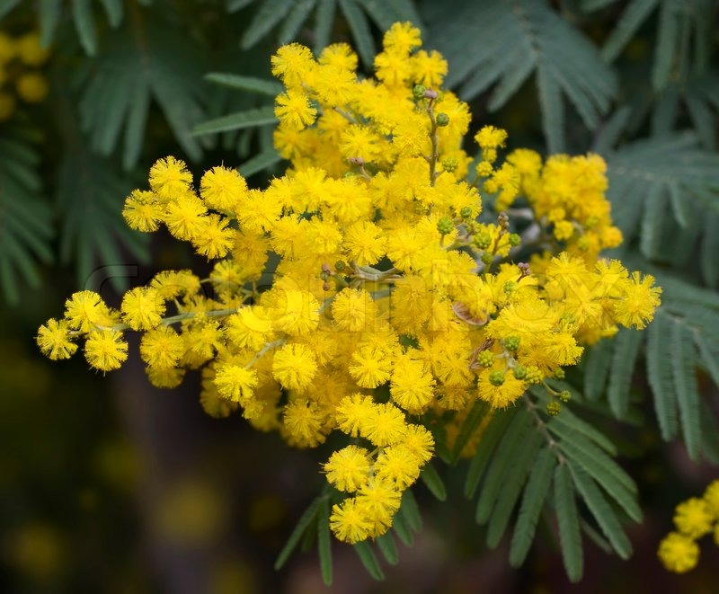 Twig with fluffy blooming mimosa flowers in spring stock photo twig with fluffy blooming mimosa flowers in spring stock photo colourbox mightylinksfo