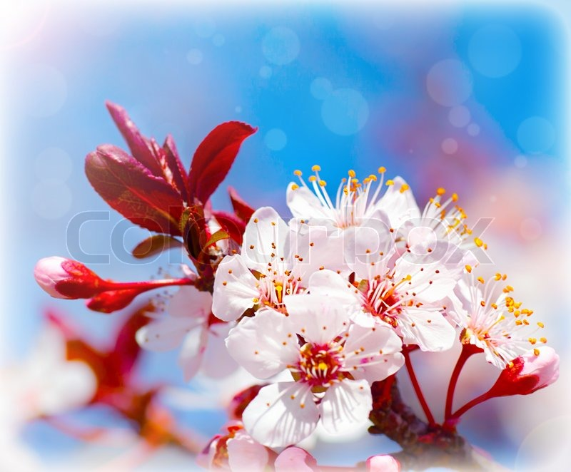 Picture Nature Flowers on Image Of  Blooming Tree At Spring  Fresh White Flowers On The Branch