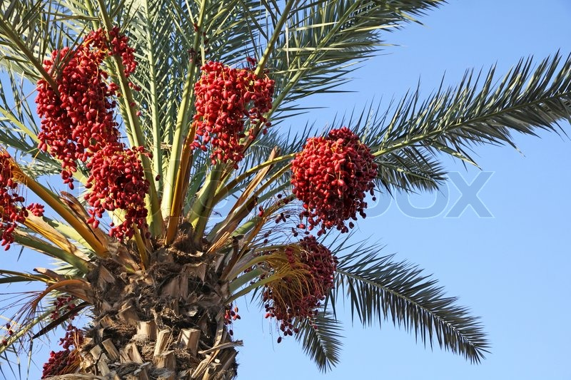 Close Up Date Palm Tree With Dates Stock Photo Colourbox