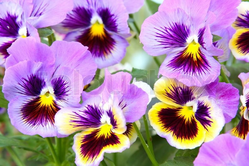 Blue And Yellow Pansy Viola Stock Photo Colourbox