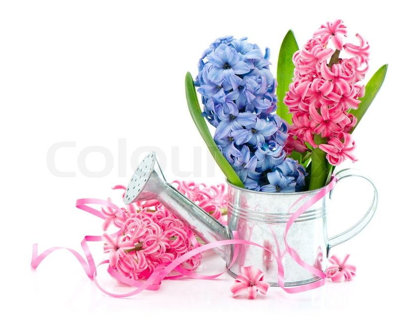 Blue and pink spring hyacinth flowers | Stock Photo | Colourbox
