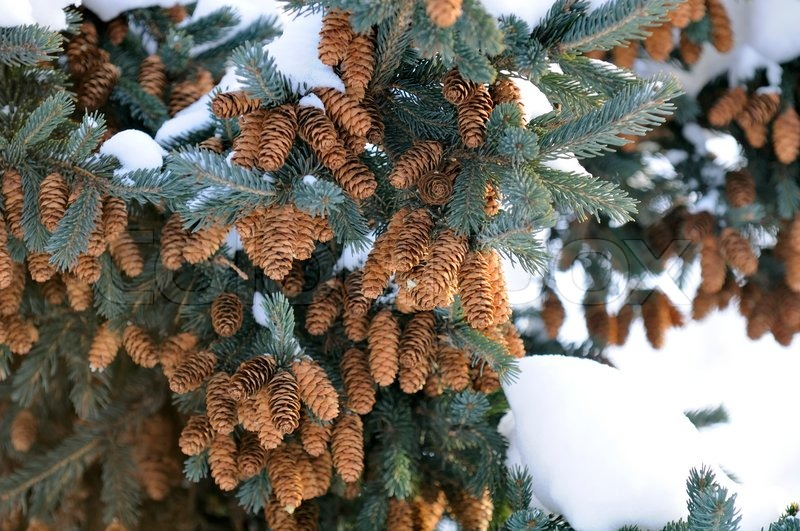 Blue Spruce Tree with Cones and Snow | Stock Photo | Colourbox