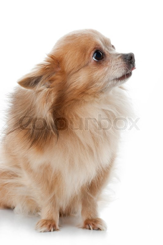 Chihuahua Dog Portrait Close Up On White Background