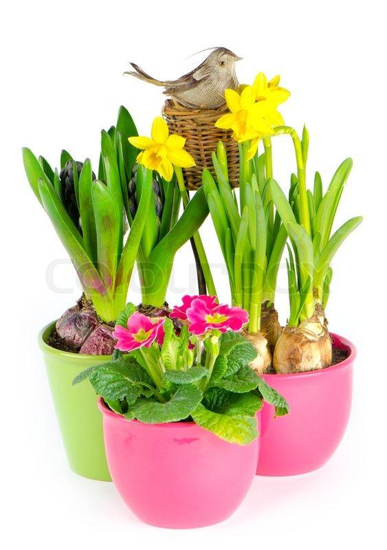hyazinthe rosa primeln gelbe narzissen stock foto colourbox. Black Bedroom Furniture Sets. Home Design Ideas
