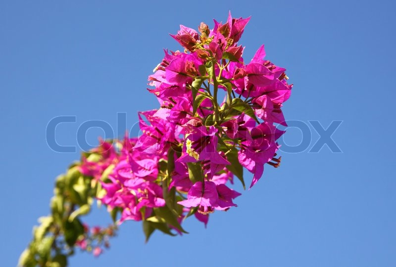 branch of bougainvillea blumen im garten ber blauen himmel hintergrund stockfoto colourbox. Black Bedroom Furniture Sets. Home Design Ideas