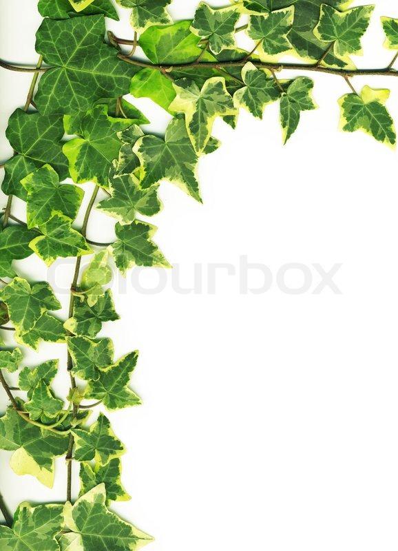 botanical green border made of ivy stock photo colourbox