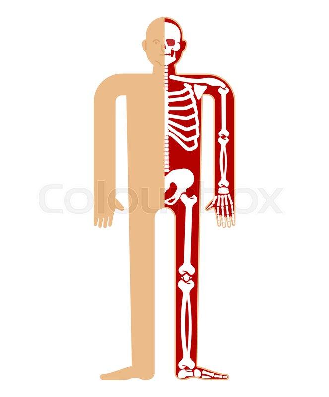 Skeleton Anatomy Human Skeletal Stock Vector Colourbox