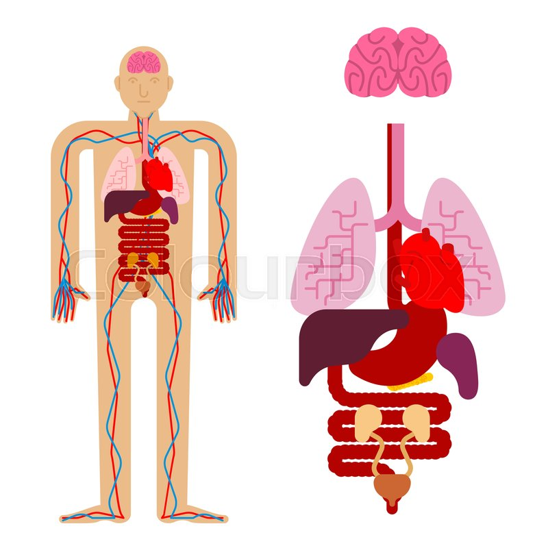 Human Anatomy Organs Internal Systems Stock Vector Colourbox