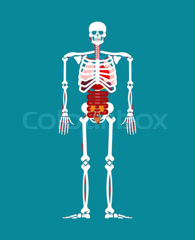 Human Anatomy Skeleton And Internal Stock Vector