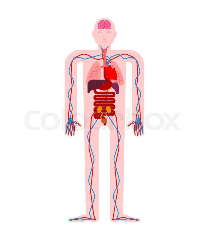 Human Anatomy Organs Internal Systems Stock Vector Colourbox
